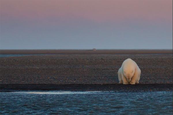 Fotografías de osos polares en un mundo sin hielo