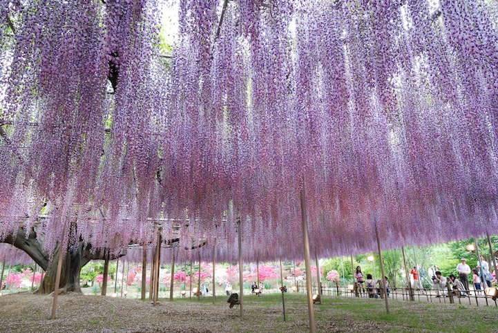 the most beautiful tree wisteria