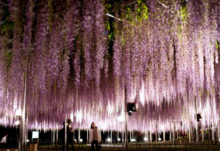 the most beautiful tree wisteria 10