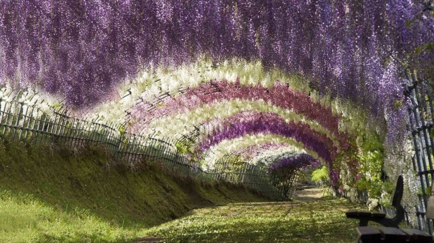 the most beautiful tree wisteria 12