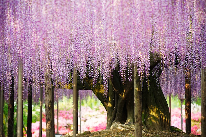 the most beautiful tree wisteria 2