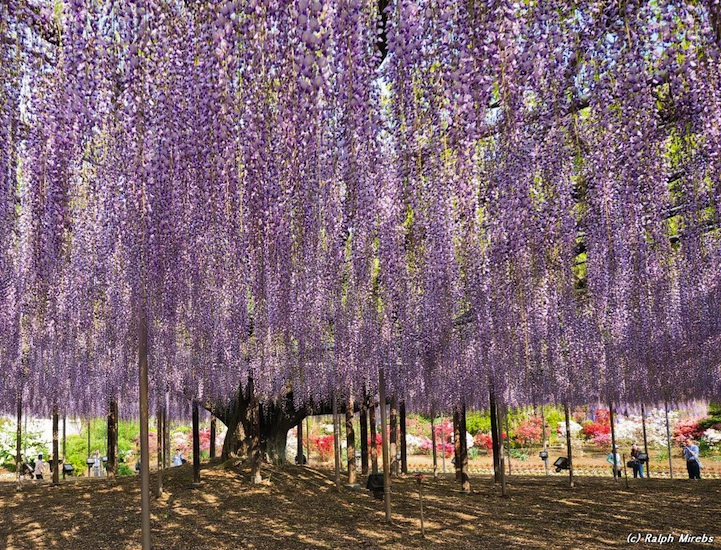 the most beautiful tree wisteria 3