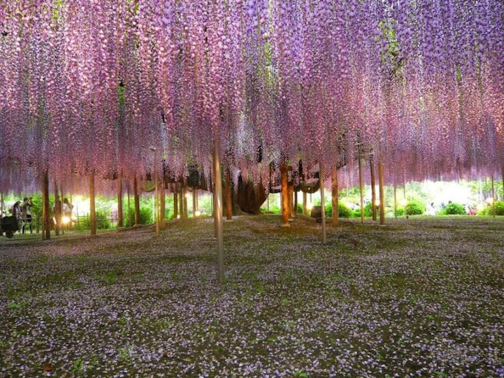 the most beautiful tree wisteria 4