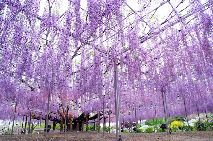 the most beautiful tree wisteria 5