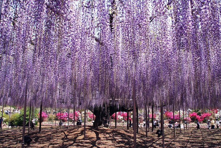 the most beautiful tree wisteria 6