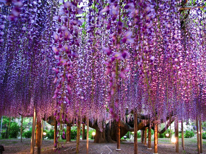 the most beautiful tree wisteria 7