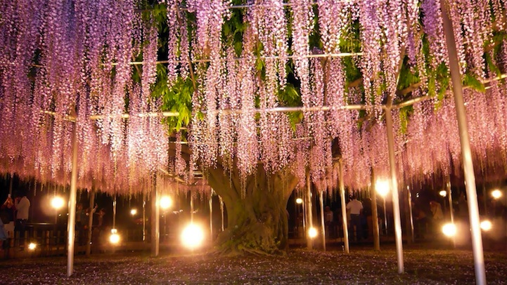 the most beautiful tree wisteria 8