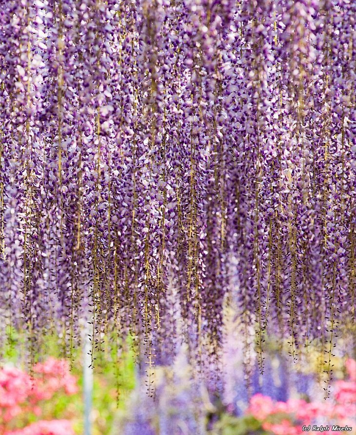the most beautiful tree wisteria 9