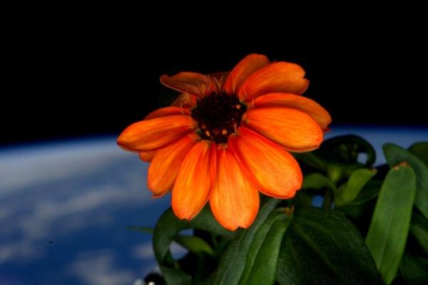 Fotografías de la primera flor que ha crecido en el espacio