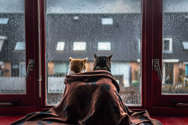 Gatos disfrutando la lluvia a través de la ventana