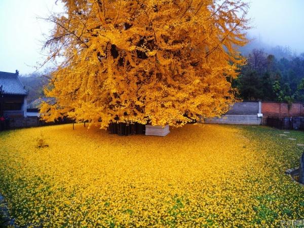 Las hojas caídas de un árbol de 1400 años de edad forman un océano dorado