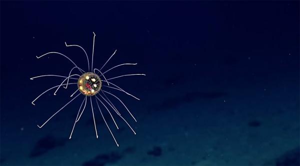 Nueva especie de medusa surrealista descubierta a 3.700 metros de profundidad