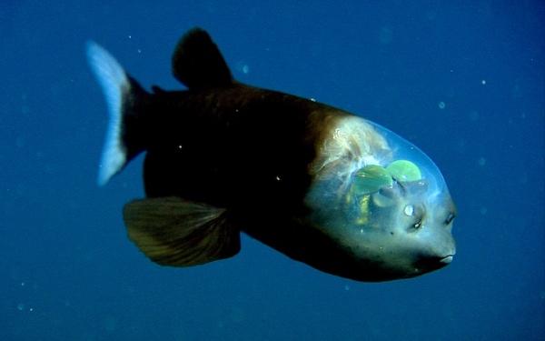 El misterioso pez de cabeza trasparente