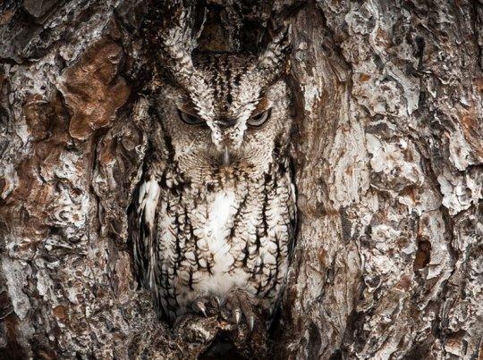 15 Ejemplos del Camuflaje de los Búhos