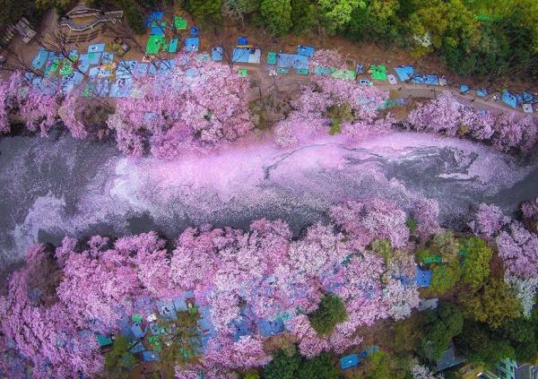 Fotografías de la floración de los cerezos en Japón, por National Geographic