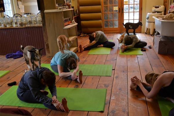 Yoga con crías de cabra, la última moda en meditación
